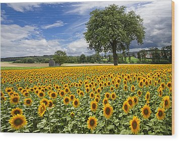 Sunny Sunflowers Wood Print by Debra and Dave Vanderlaan
