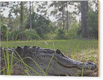 Surprise Alligator Houseguest Wood Print by Dodie Ulery