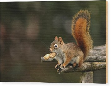 Surprised Red Squirrel With Nut Portrait Wood Print by Debbie Oppermann