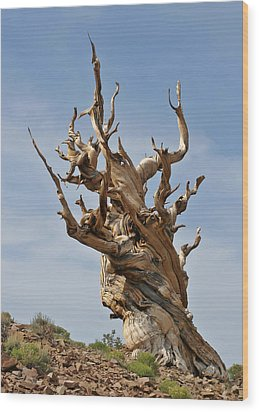 Survival Expert Bristlecone Pine Wood Print by Christine Till
