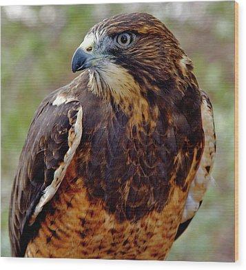 Swainson's Hawk Wood Print by Ed  Riche