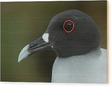 Swallow-tailed Gull (larus Furcatus Wood Print by Pete Oxford