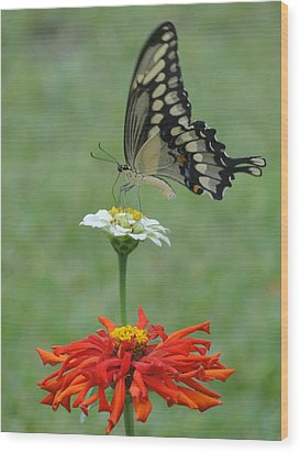 Swallowtail Butterfly And Zinnias Wood Print by Cindy Croal