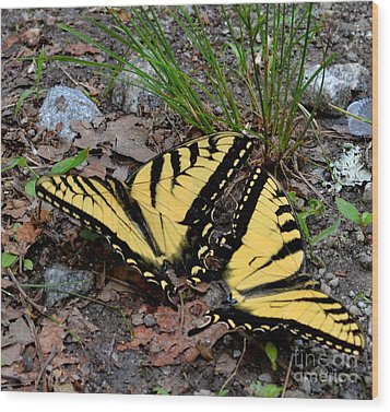 Swallowtail Butterfly Couple Wood Print by Eva Thomas
