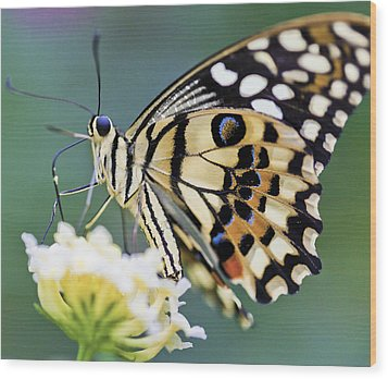 Swallowtail Butterfly Wood Print by Maj Seda