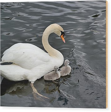 Swan And Cygnets Wood Print