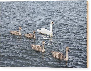 Wood Print featuring the photograph Swan And His Ducklings by John Telfer