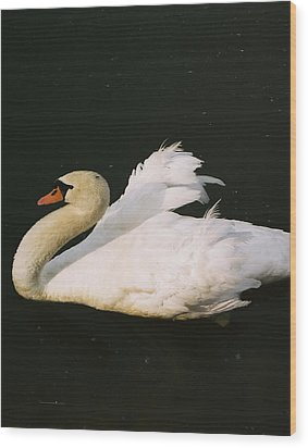 Swan At Rest Wil 115 Wood Print by G L Sarti