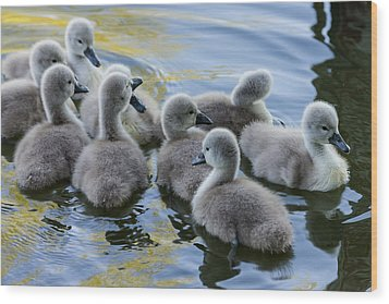 Swan Babies Wood Print by Michael Mogensen