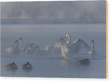 Swan Showing Off Wood Print by Patti Deters