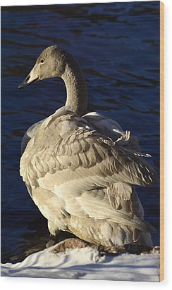 Swan Sits And Looks Out Over The Lake Wood Print by Tommytechno Sweden