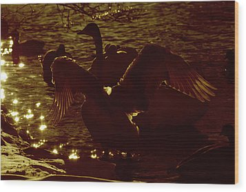 Swan Spreads Its Wings Wide Wood Print by Tommytechno Sweden