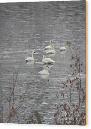 Swans A Swimming Wood Print