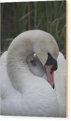 Swans Love Wood Print by Terry Cosgrave