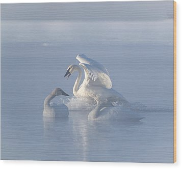 Trumpeter Swans - Three's Company Wood Print by Patti Deters