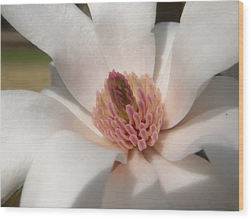 Sweet Star Magnolia Wood Print