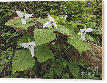 Sweet White Trillium - D003800 Wood Print by Daniel Dempster