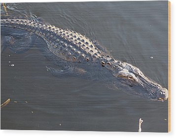 Swimmig Alligator Wood Print by Scott Dovey