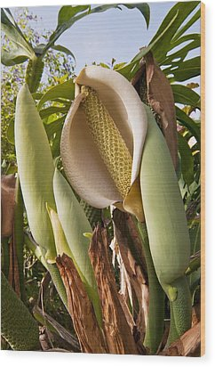 Swiss Cheese Plant (monstera Deliciosa) Wood Print by Science Photo Library