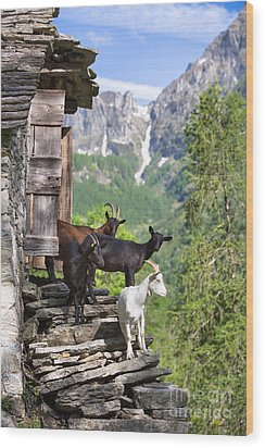 Swiss Goats Wood Print