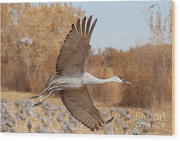 Swooping Sandhill  Wood Print by Ruth Jolly