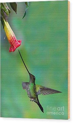 Sword-billed Hummingbird Wood Print by Anthony Mercieca