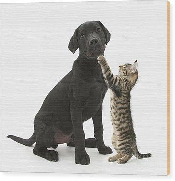 Tabby Male Kitten & Black Labrador Wood Print by Mark Taylor