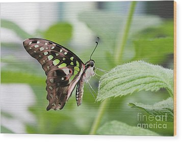 Tailed Jay Butterfly #3 Wood Print