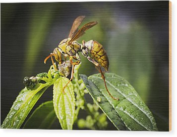 Taiwan Hornet Feeding On A Caterpillar Wood Print by Science Photo Library