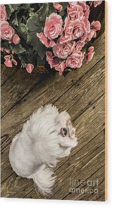 Havanese Puppy Wood Print