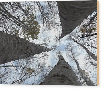 Tall Birches Wood Print