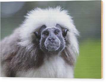 Wood Print featuring the photograph Tamarins Face by Shoal Hollingsworth