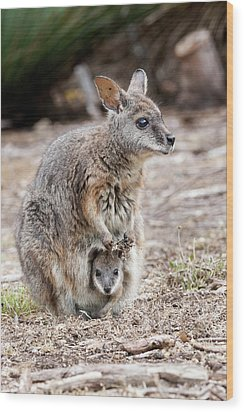 Tammar Wallaby (macropus Eugenii Wood Print