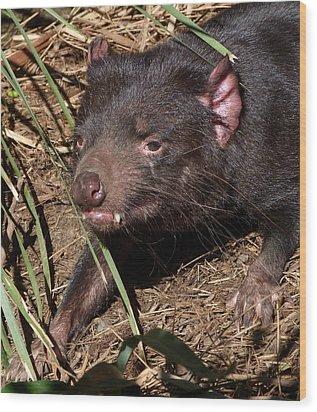 Tasmanian Devil Wood Print by Margaret Saheed