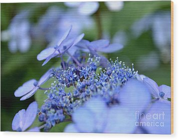 Taube Lacecap Hydrangea Wood Print