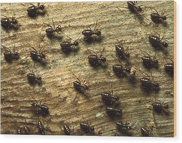 Termites On Wood With One Carrying Wood Print by Konrad Wothe