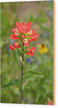 Texas Red Indian Paintbrush Wood Print by Lynn Bauer
