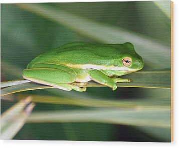 The American Green Tree Frog Wood Print by Kim Pate