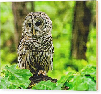 The Barred Owl Wood Print by Louis Dallara
