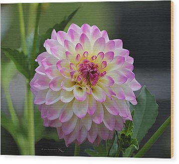 The Beautiful Dahlia Wood Print by Jeanette C Landstrom