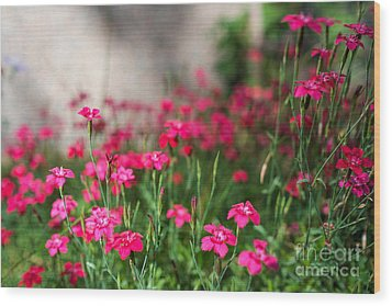 The Beauty Of Maiden Pinks Wood Print