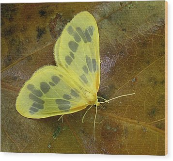 Wood Print featuring the photograph The Beggar Moth by William Tanneberger