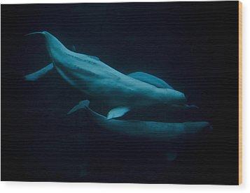 The Beluga Whales Wood Print by Jessica Berlin