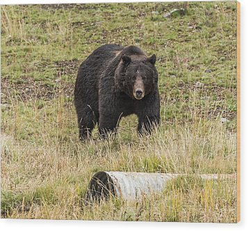 Wood Print featuring the photograph The Big Black Grizzly Boar by Yeates Photography