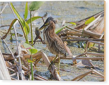 Wood Print featuring the photograph Green Heron And Frog by Phil Stone