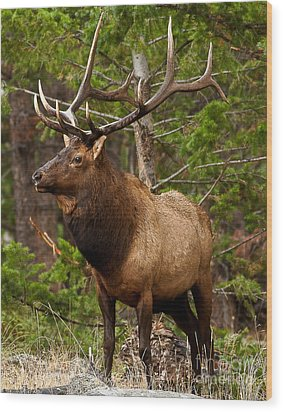 Wood Print featuring the photograph The Bull Elk by Steven Reed
