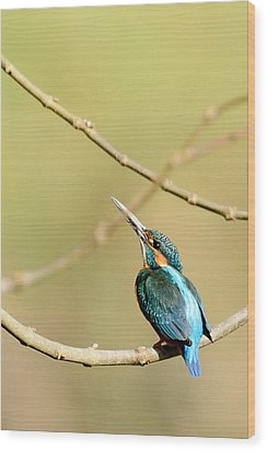 The Common Kingfisher Wood Print by Fotosas Photography