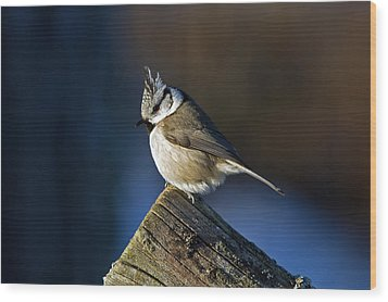 The Crested Tit In The Sun Wood Print