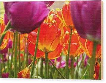 The Drooping Tulip Wood Print by Catie Canetti