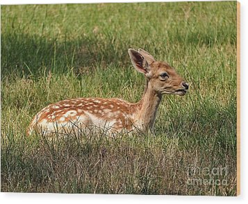 The Fawn Wood Print by Kathy Baccari